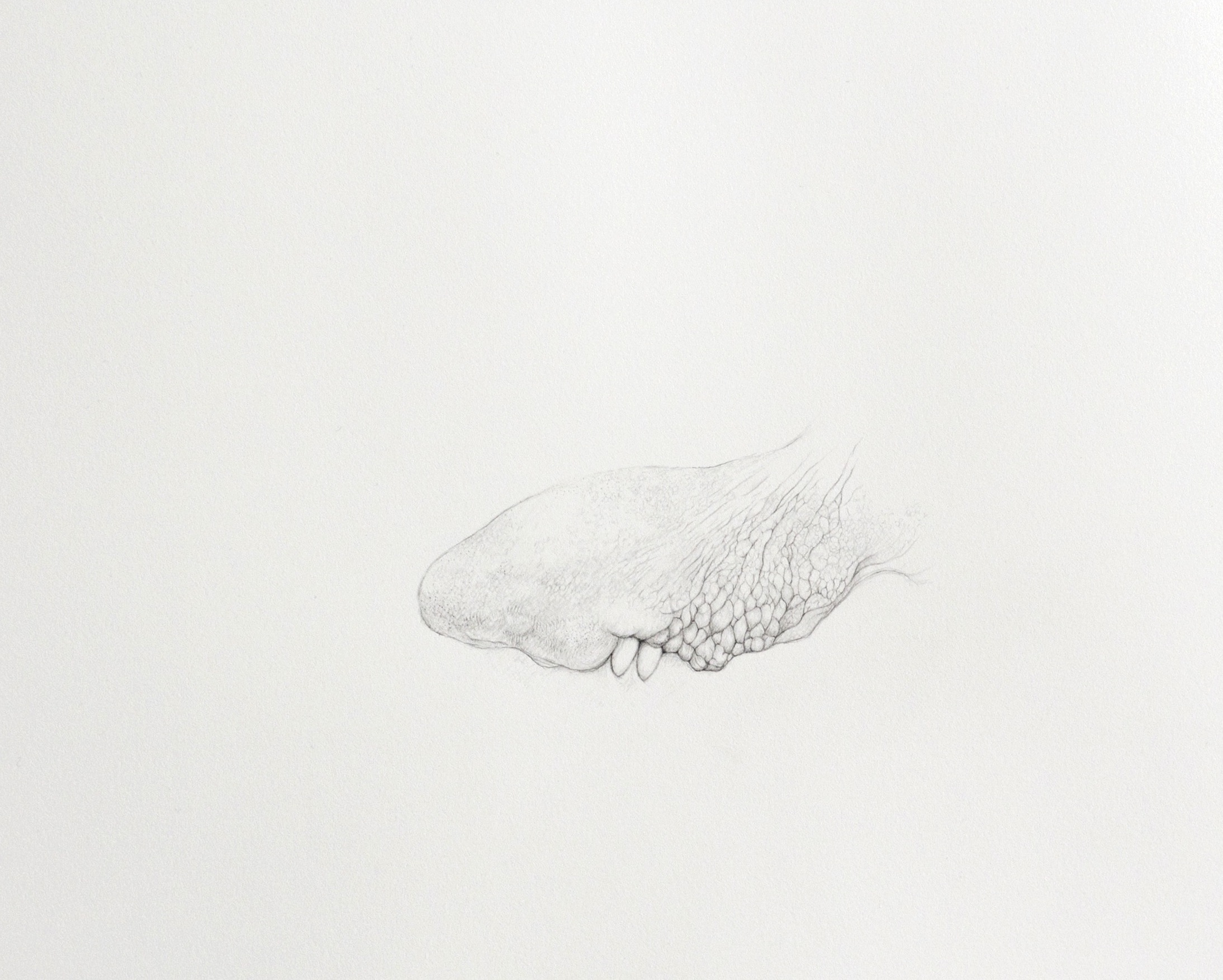 Foreign Tongue, graphite on paper,  42 x 41 cm, 2012