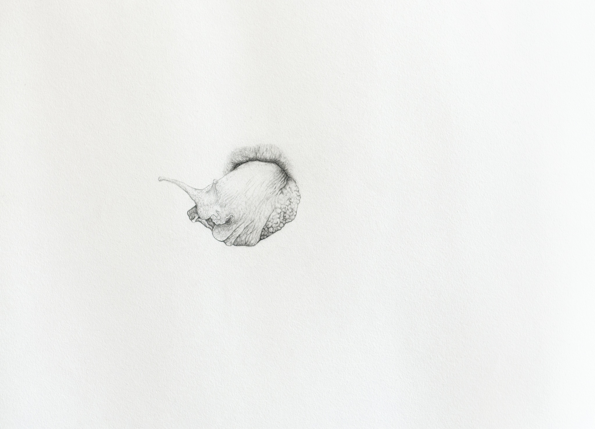 Muscle, graphite on paper, 50 x 36 cm, 2012